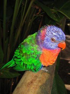 Guadeloupe Parrot. Espece disparue ou en voie de disparition. La folie des hommes!