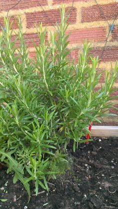 Our Rosemary