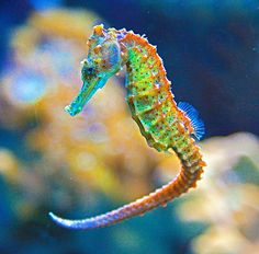 Sea horse... one of the ocean's most charming inhabitants.