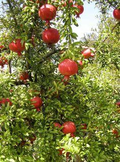 Dalim (ডালিম, বেদানা, আনার), Anar, Bedana - Pomegranate - Punica Granatum