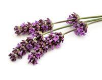 Lavendel heeft een ontspannende werking. Het helpt bij hoofdpijn en als je je stem verloren hebt. Lavendel is ook bloeddrukverlagend, bacteriedodend en ontsmettend (de thee ervan). Het brengt trouwens ook de menstruatie op gang. Het helpt tegen misselijkheid en wagenziekte en tandpijn. Theezetten van een halve liter kokend water op 1 theelepel lavendel.