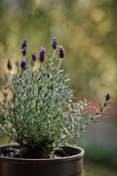 container gardening ideas for privacy screens Lavender Cottage, Lavender Blue, Lavender Fields, Potted Lavender, Provence Lavender, Garden Gates, Balcony Garden, Terrace, Growing Lavender