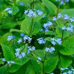 "Absolutely love this shade-loving plant with dainty blue flowers called Brunnera macrophylla -  A ""False"" Forget-Me-Not"