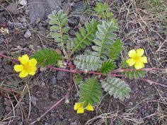 Silverweed Cinquefoil Argentina spp. rhizomes are edible raw, though possibly bitter. rhizomes is best when roasted, boiled, or fried for se...