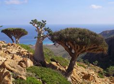 The strange trees of Socotra - Two dragon blood trees and a desert rose in Homhil, Socotra