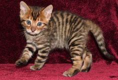 And this one looks like a baby tiger!! Ok I'm getting a toyger kitty too!