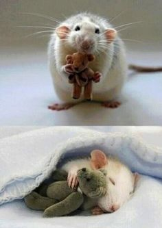 Rat with its own teddy bear (this has been doing the rounds labelled as 'mouse'. It's a rat for the love of god)