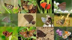 Υπό εξαφάνιση το 5% των ειδών των πεταλούδων τηςΜεσογείου.