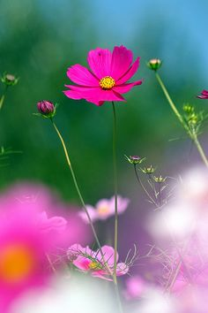 ~~Cosmos by nobuflickr~~ Favorite flower. Simple. Delicate. Perfect.