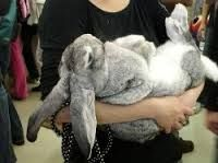This is a flemish giant bunny. It will be mine. Hamsters, Chinchillas, Benny And Joon, Flemish Giant Rabbit, Large Rabbits, Bunny Rabbits, Large Rabbit Breeds, Meat Rabbits, Raising Rabbits