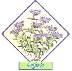 Learn the benefits of growing bergamot for delicious, nutritous, bergamot tea. Originally titled