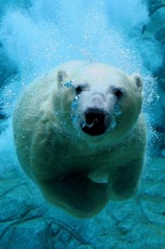 The major abiotic factors that affect polar bears are the cold, snow and water. The extreme cold in the Arctic region that the polar bear inhabits means that it has adapted in several ways. The polar. Cute Baby Animals, Animals And Pets, Funny Animals, Wild Animals, Zoo Animals, Beautiful Creatures, Animals Beautiful, Pretty Animals, Tier Fotos