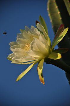 O mandacaru (Cereus jamacaru), também conhecido como cardeiro, é uma planta da família das cactáceas. O mandacaru é altamente resistente a seca e é também utilizado na alimentação de animais. As flores são lindíssimas e medem aproximadamente 30cm, floresce no meio da primavera e as flores desabrocham no período noturno e já ao amanhecer começam a murchar. O fruto tem cor forte e vibrante e também serve de alimentos a animais como aves nativas como o periquito-da-caatinga e a gralha-cancã.