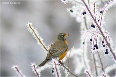 Robin feeding on Saskatoon berries covered in hoar frost - makes me wonder if the birds like Saskatoon ice-wine?