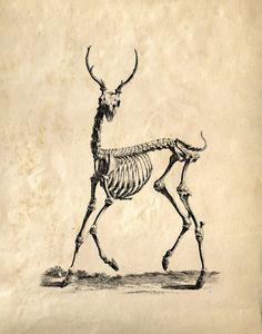Vintage Science Animal Anatomy Study. Deer by curiousprints