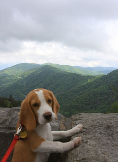 Puppy Lays Claim to Vast American Wilderness When a beagle named Copper set out on a mapping expedition last fall, he never dreamed he'd find such pristine, untapped wilds. Puppies And Kitties, Baby Puppies, Cute Puppies, Doggies, Beagle Funny, Beagle Dog, Funny Pugs, Beagle Breeds, Cute Dogs Breeds