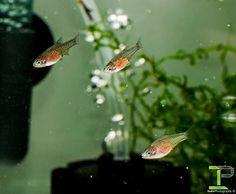Breeding - Celestial Pearl Danios - Fish - Shrimp Keepers Forum Danio Fish, Brine Shrimp, Little Fish, Black Spot, Light Orange, Celestial, Pearls, Beads, Gemstones
