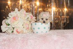 954-353-7894 Teacuppuppiesstore.com  Teacup Poodle