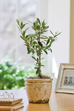 Dwarf Fruit Trees - Growing Citrus Trees, Dwarf Banana Plants Indoors [I've been growing indoor citrus for years now, and I own & have read Growing Tasty Tropical Plants in Any Home, Anywhere. I still learned a few things from this site! -UDG]