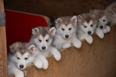 How about the Husky lineup? Cutest bullpen ever! ♡ ♡