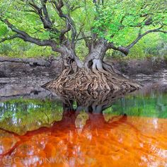 A tupelo tree spreads its spring branches over the Suwannee River near the Florida-Georgia line. Photo by @Carlton Jefferis Ward Jr.