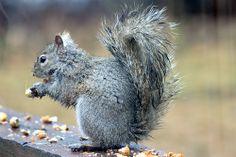 Grey Squirrel in the Rain
