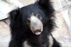 Sloth Bear (I saw them at the National Zoo) - Looks like a cross between a Koala and a black bear. SO adorable! Sloth Bear, Baby Sloth, Lazy Animals, Cute Animals, Animal Facts, Black Bear, Animal Kingdom, Mammals, Wildlife
