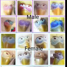 Boy or Girl? Parakeet Toys, Parakeet Cage, Diy Bird Toys, Pet Bird Cage, Little Busters, Budgies, Parrots, Cockatiel, Daisy Mae