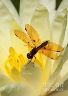 Amber Dragonfly Dancer by Sabrina L Ryan