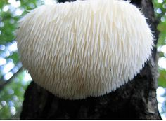 Grow Lion's Mane Mushrooms On Long In Your Homestead! High Quality Hericium erinaceus Mushroom Plugs For Mushroom Cultivation At Home!