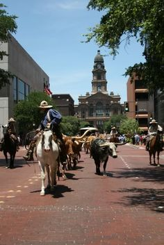 A daily cattle drive in the stockyards in Fort Worth.