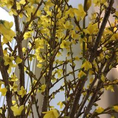 Simple pleasures......sunshine and Springs bounty of architectural stems of Forsythia bursting with delicate yellow flowers #bespokebotanicals #florist #newmarket