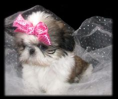 Sweet Tooth Imperial Shih Tzus of Salt Lake City, Utah. Breeder of Chinese Imperial Shih Tzu, Imperials, Teacup, Toy, Miniature or Tiny Pocket Shih Tzu puppies, sweet, small size standard AKC Shih Tzu and Champion Pedigreed Brussels Griffon Puppies.