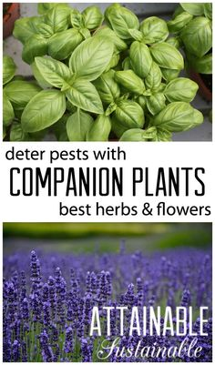 Companion Gardening Companion planting is planting specific herbs, flowers, fruits, and vegetables in close proximity to each other, enhancing the growth and success of both plants. Planting Vegetables, Organic Vegetables, Growing Vegetables, Vegetable Gardening, Veggie Gardens, Veggies, Organic Gardening, Gardening Tips, Culture D'herbes
