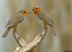 European robins Funny Birds, Cute Birds, Small Birds, Pretty Birds, Colorful Birds, Little Birds, Beautiful Birds, European Robin, Fat Bird