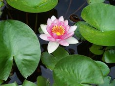 how to plant a waterlily, container gardening, gardening, ponds water features, You can enjoy beautiful waterlilies if you plant them properly Backyard Water Feature, Plants, Water Lilies, Diy Garden Fountains, Plant Leaves, Fairy Herb Garden, Container Gardening, Garden Markers, Container Gardening Flowers