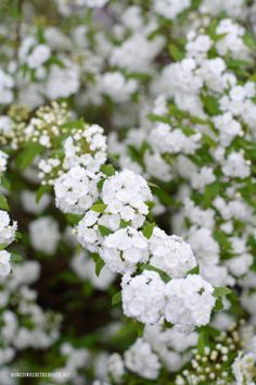 Bridal Wreath Spirea | ©homeiswheretheboatis.net #spring #shrub #lowmaintenace #fastgrowing #garden