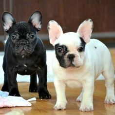 Me and my brother, French Bulldog Puppies.