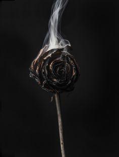 Study of a rose by Matthew Pandolfe