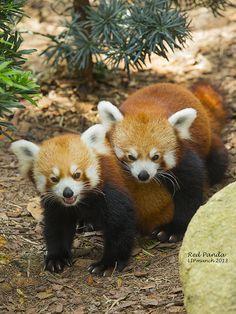 Red Panda 001_2013 | Flickr - Photo Sharing!