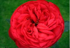 Red Piano Garden Rose