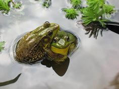Friendly frogs in a pond