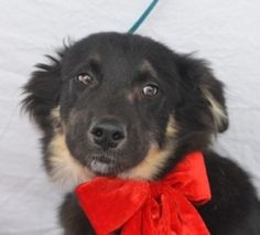 Kincaid-HSCCL is an adoptable Shepherd Dog in Plano, TX. Kincaid came into the shelter as a stray through Animal Control. He is a friendly puppy about 4 - 5 months old. This dog is available to rescue...