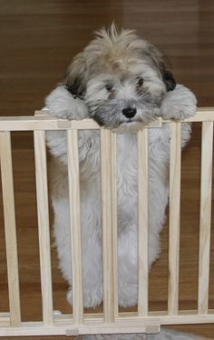 Check Out Havanese Dogs For Sale Havanese Puppies, Cute Puppies, Dogs And Puppies, Pet Puppy, Pet Dogs, Pets, Doggies, Beautiful Dogs, Animals Beautiful