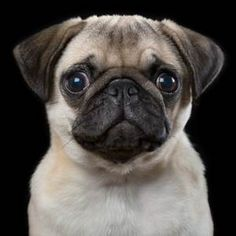 This pug looks so worried and so cute in Rob Bahou's adorable pet portrait