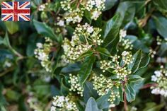 British white flowering Viburnum tinus at New Covent Garden Flower Market - February 2015