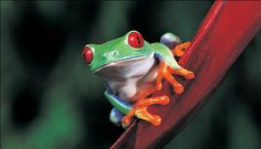 A Red Eyed Tree Frog