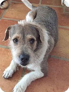 Key Biscayne, FL - Basset Hound Mix. Meet Dumbo, a dog for adoption. http://www.adoptapet.com/pet/15689568-key-biscayne-florida-basset-hound-mix