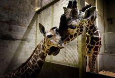 giraffes   baby giraffes Archives - Animal Fact Guide