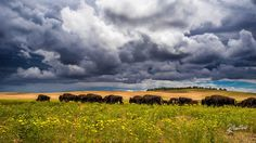 Official Legends SUPPORT MY WORK! Just LIKE my Facebook page! Thanks! The 9th of May 2016, with the National Bison Legacy, President Obama made the North American Bison the official mammal of the United States. To me the Bisons have always been one the legendary symbol of the vaste prairies of the American Landscape. Try to figure my excitation when while driving across the Utah, I've found this herd of these huge and majestic animals walking under a fabulous stormy sky, with the s..